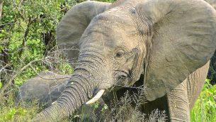 GJEonearth-africa-African-Elephant-1