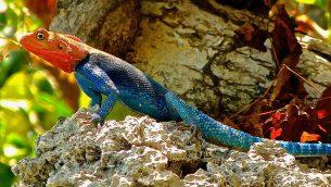 GJEonearth-africa-Apotheker-Rainbow-Lizard