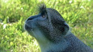 GJEonearth-africa-Blue-Meerkat