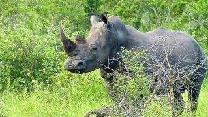 GJEonearth-africa-Broadlip-Rhinoceros