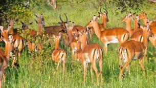 GJEonearth-africa-Impala