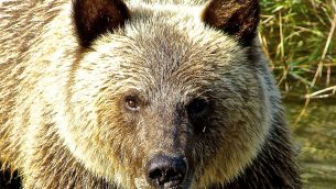 GEJonearth-north-america-Adult-Grizzly-Bear