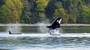 GEJonearth-north-america-killer-whale