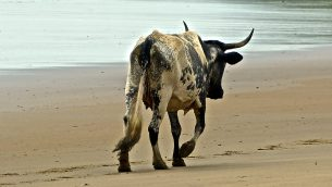 GJEonearth-africa-Lonely-Cow
