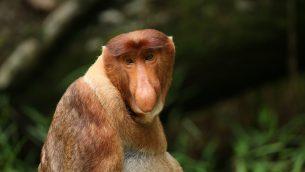 GJEonearth-asia-Probosicis-Monkey