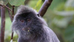 GJEonearth-asia-silver-leaf-monkey-02