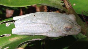GJEonearth-south-america-Albino-Frog