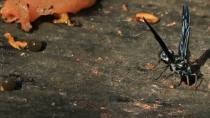 GJEonearth-south-america-Flying-Ant