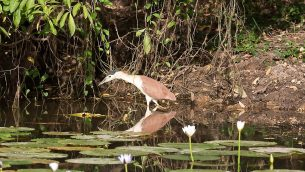 GJEonearth-south-america-Mexican-Tiger-Heron