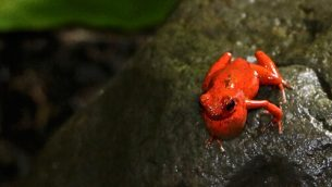 GJEonearth-south-america-Poison-Dart-Frog