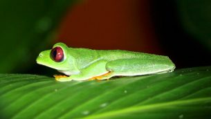 GJEonearth-south-america-Red-Eye-Frog