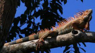 GJEonearth-south-america-rown-Iguana