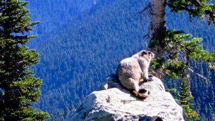 gjeonearth-north-america-Marmot