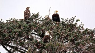 gjeonearth-north-america-Nest-Bold-Eagle